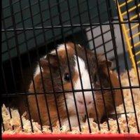 Pegadinha Hamster Peidorreiro